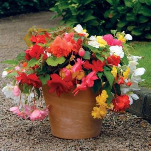 Begonia Sparkle Mixed 1 Swift Planters