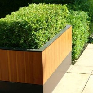 Box Hedging Plant - Buxus Sempervirens