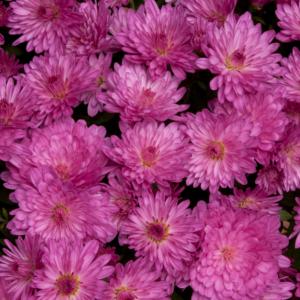 Chrysanthemum Bran Series Branqueen Pink 13cm Pot Plants - Set of 3