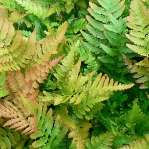 Dryopteris erythrosora 9cm Pot Plants set of 3