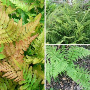 Evergreen Fern Collection 9cm Pot Plants- Set of 3