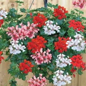 Geranium Mixed Ivy 2 Swift Planters