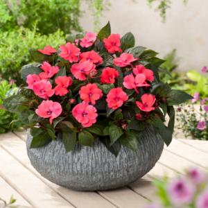Impatiens SunPatiens Compact Deep Rose 13cm Pot Plants - Set of 6