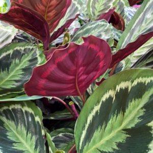 Prayer Plant Calathea Medallion 21cm