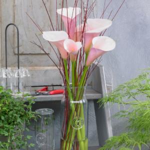 Zantedeschia Flamingo 12 Premium Large Plants
