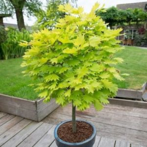 Acer Shirasawanum 'Jordan' - Single Potted Plant