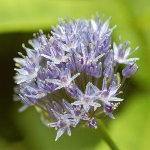 Allium Caeruleum 20 Bulbs