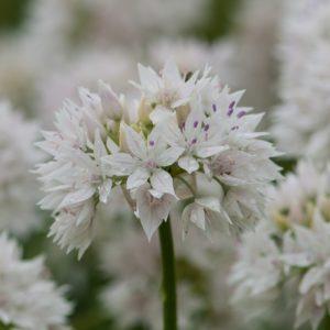 Allium Graceful Beauty 15 Bulbs