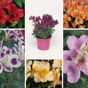 Alstroemeria Collection 13cm Pot Plants - Set of 6