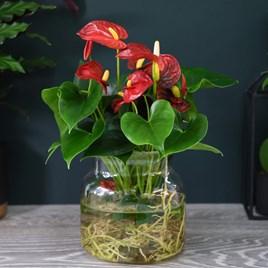 Anthurium Aqua Red in Sierglass