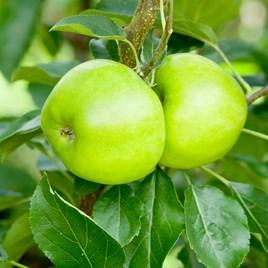 Apple (Eating) Tree - Bountiful