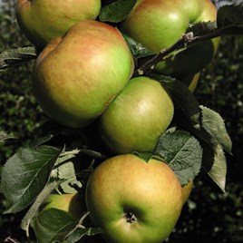 Apple (Malus) Bramley 20 (M27)