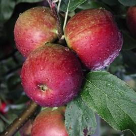 Apple (Malus) Core Blimey
