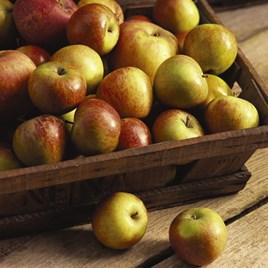 Apple (Malus) Cox's Orange Pippin
