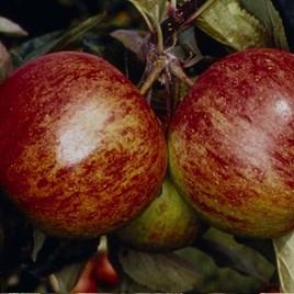 Apple (Malus) Ellisons Orange
