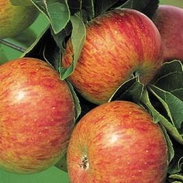 Apple (Malus) Lord Lambourne