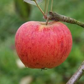 Apple (Malus) Paradice Gold