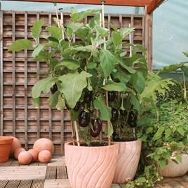 Aubergine Seeds - Bonica F1