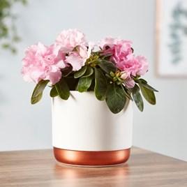 Azalea indoor Pink