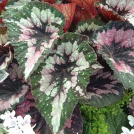 Begonia Plant - Merry Christmas