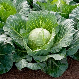 Cabbage Seeds - Sunta F1