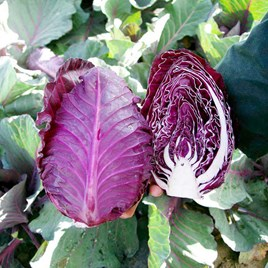 Cabbage Seeds - Tinty
