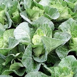 Cabbage Seeds - Winter Jewel F1