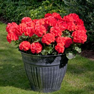 Geranium Zonal Designer Orange 24 Premium Large Plants