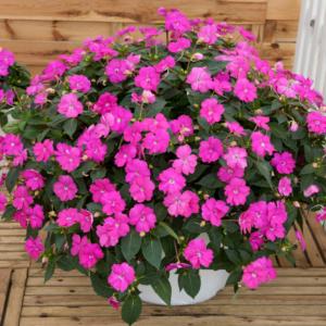 Impatiens SunPatiens Compact Hot Lilac 13cm Pot Plants - Set of 3