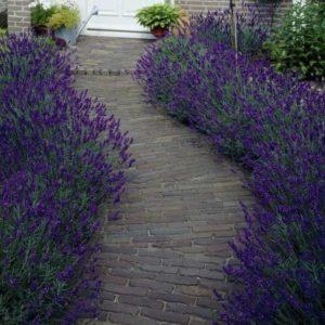 Lavender Hidcote - 10x Hedging Plants