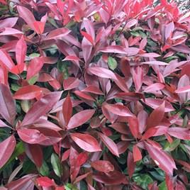 Photinia Red Robin (Red Laurel) Plant - 2L Value Hedging Range