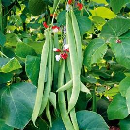 Runner Bean Seeds - St George