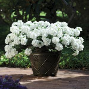 Verbena Showboat White 12 Premium Large Plants