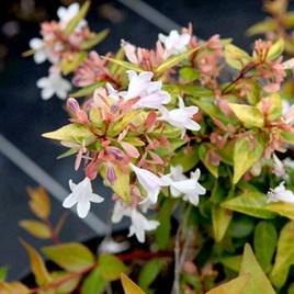 Abelia grandiflora Francis Mason