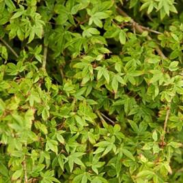 Acer Japanese Jewel palmatum Little Princess