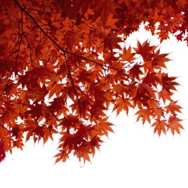 Acer Japanese Jewel palmatum Taylor