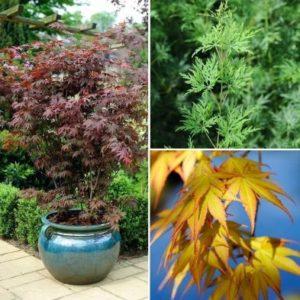 Acer palmatum Japanese Maples - 3x Established Plants