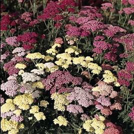 Achillea millefolium Summer Pastels 1 Litre Pot x 2