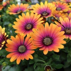 African Daisy Osteospermum ' Purple Sun' - 6x Plug Plants