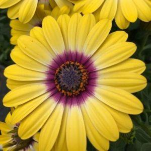 African Daisy Osteospermum 'Tropic Sun' - 6x Plug Plants