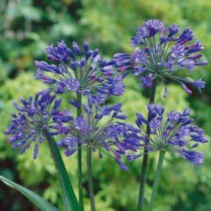 Agapanthus Africanus 'Blue' - Single Mature Plant