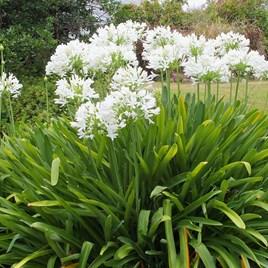Agapanthus Africanus White