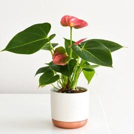 Anthurium Andreaeanum Pink (Flamingo Flower)