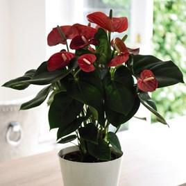 Anthurium andreaeanum Red
