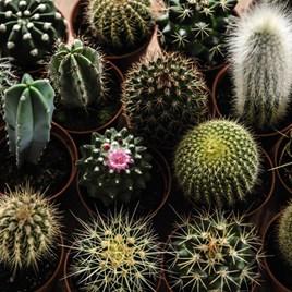 Cactus Mixed