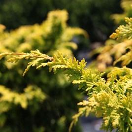 Chamaecyparis Obtusa Evergreen Plant - Fernspray Gold