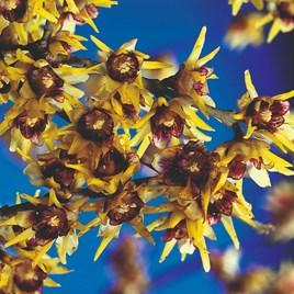 Chimonanthus Praecox