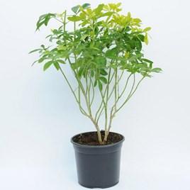 Choisya Ternata Sundance - Standard 50cm Stem Plant