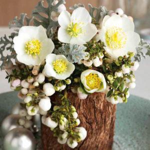 Christmas Rose Plant