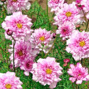 Cosmea Double Click Rose